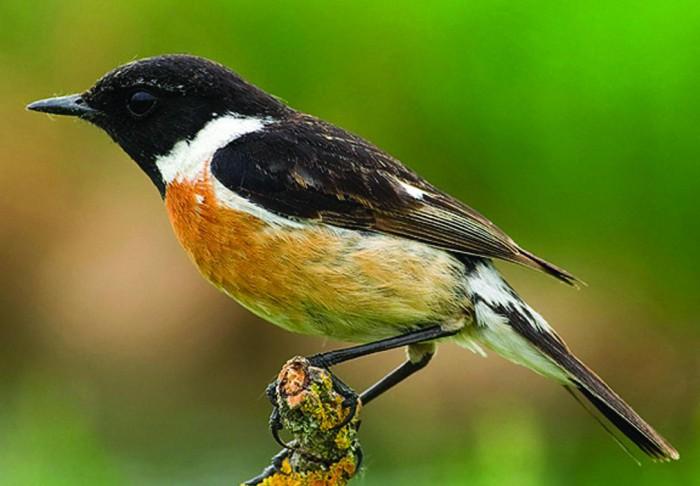 Cigánycsuk az év madara