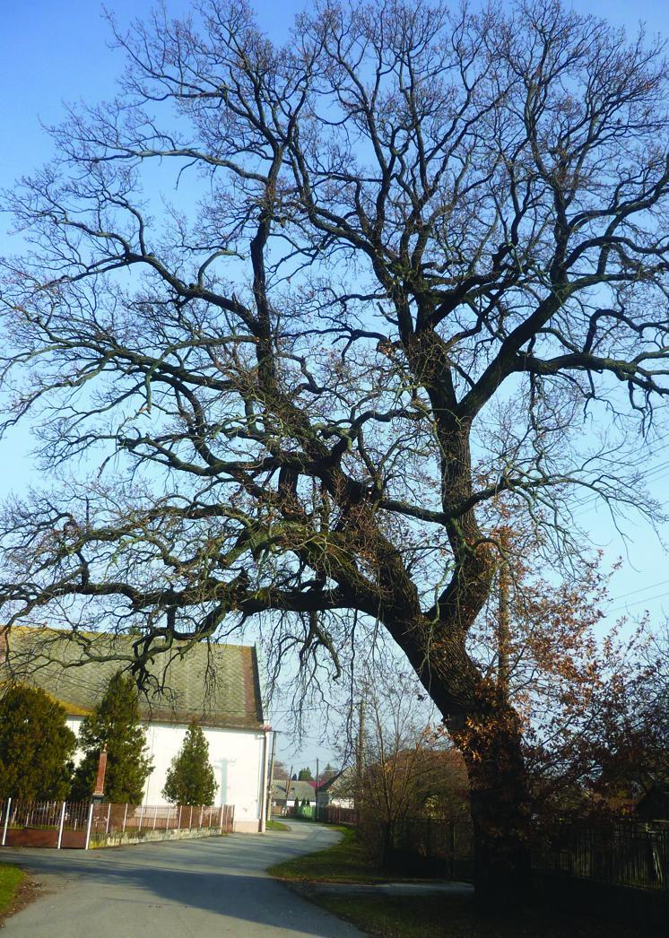 120 éves tölgyfa