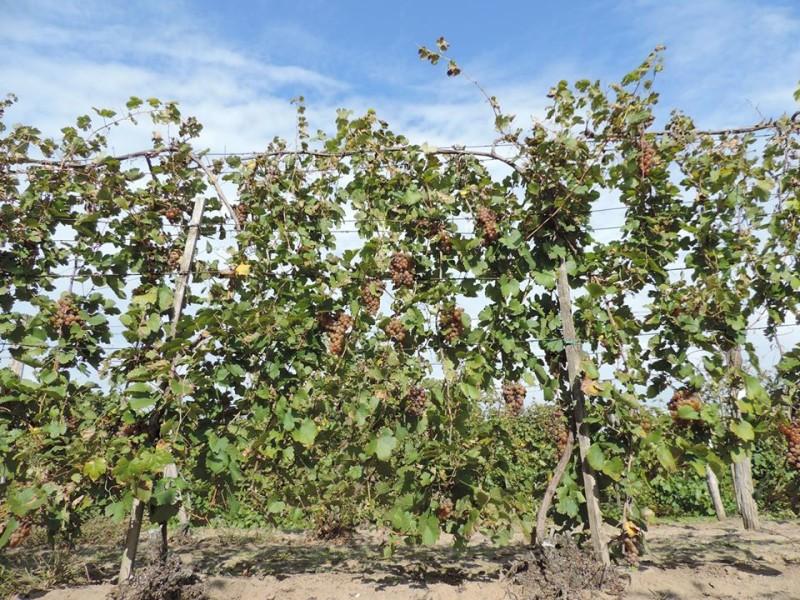 Ágaskordon szőlőtermesztés 6